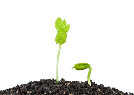 plant seed: Young green plant with seed isolated on white background.