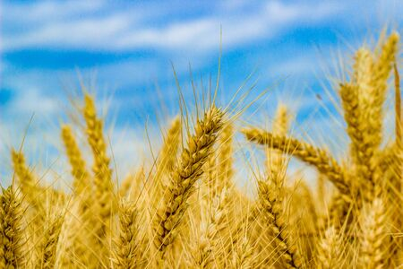 zoomed in: A piece of wheat zoomed in and focused among hundreds of others