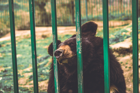 behind bars: Sad Brown Bear Behind Bars in Zoo