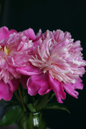 Pink Peonies In Vase On Black Background Close Up Selective