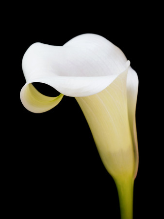Yellow calla lily, Isolated on black background Stock Photo