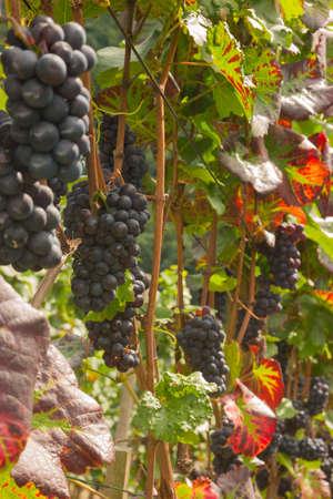 juicy: juicy ripe wine in vineyard