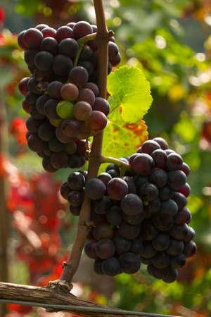 vinery: juicy ripe wine in vineyard