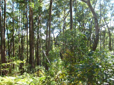 lamington: rainforest in lamington national park