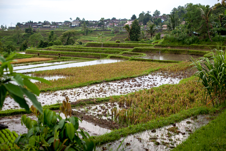 Bali rice terraces in water. Rice fields of Jatiluwih. The graphic lines and verdant green fields. Some of the fields are hundreds of years old.