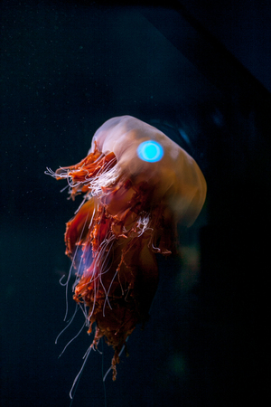 Beautiful colorful orange pink jellyfish isolated on black background in an Aquarium Stock Photo
