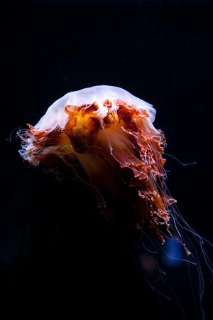 jelly fish Beautiful jellyfish, medusa in the neon light. Aquarium with vivid jellyfish. Underwater life in ocean jellyfish Stock Photo