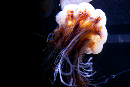 Beautiful colorful orange pink jellyfish isolated on black background in an Aquarium.
