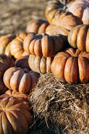 a lot of Autumn pumpkins at outdoor farmers market on display for sale ready for Halloween.