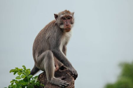 Close up photo Grey monkey sitting on treetop, staring directly at camera in Bali Фото со стока