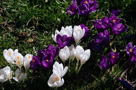 Spring wallpaper with purple and white crocus in the park. Bright Easter Spring first flowers in green grass close up.