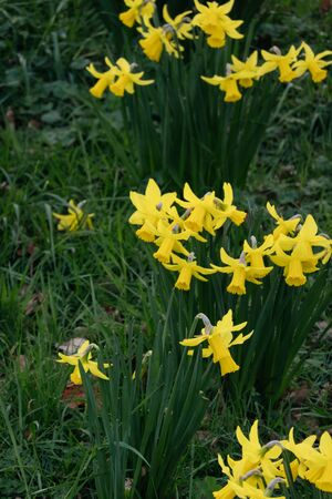 Yellow Narcissus on a green grass background-decoration of spring parks and squares. Daffodil is symbol of Wales UK Фото со стока