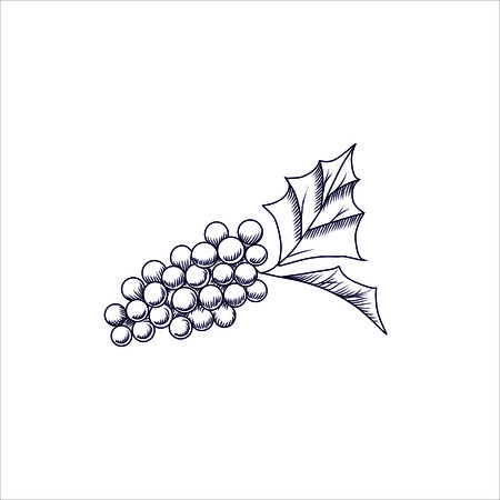grapes in isolated: Engraving vector illustration of grapes isolated on white background Illustration