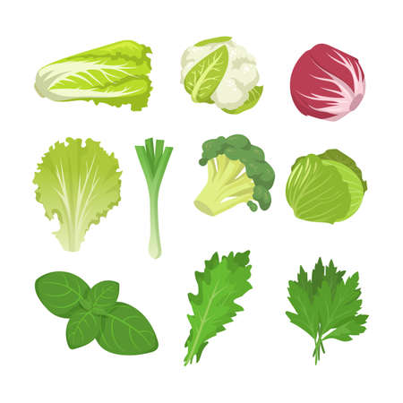 Salad and cabbage species set. Spinach leaves, lettuce, endive, red kale, romaine isolated on white. Vector illustration for organic food, healthy eating, vegan diet concept