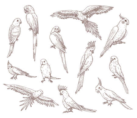 Hand drawn sketches of parrots. Vector set of exotic birds: cockatoo, macaw, ara. Illustrations drawing with pencil in vintage style. Jungle, fauna, nature, pet concept