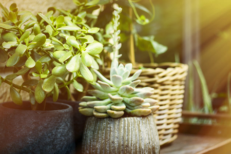 Succulent plant in a pot. Beautiful image