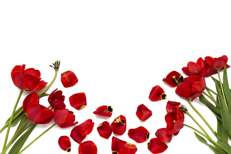 Broken old red tulips on a white background. Top View Stock Photo