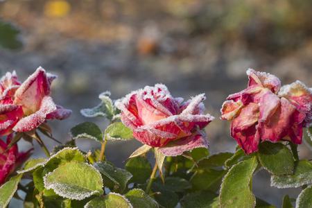 Rote Rose im Morgenfrost nach einer frostigen Nacht im Garten. Das Konzept des ersten Frostwinters kommt Standard-Bild