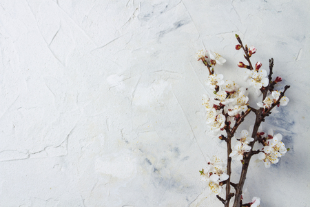 On a white background a sprig of flowering apricot