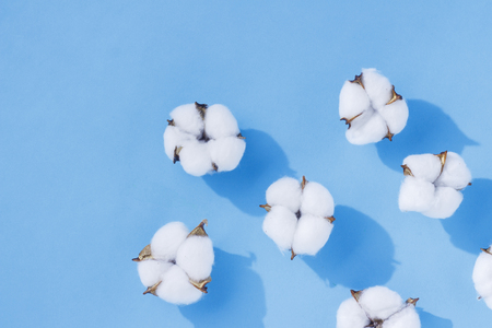 Opened cotton flowers on a blue background. The concept of natural fabrics, cotton, cosmetics. Flat lay, top view Standard-Bild - 121974627