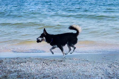 Dog with a cone in his mouth runs along the sea beach.
