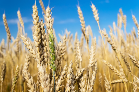 Wheat field and blue sky Stock Photo