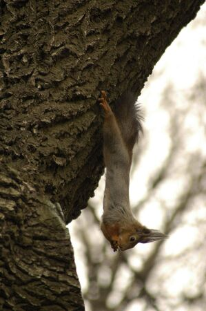 weighs: a squirrel weighs on back paws on a tree