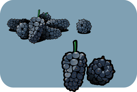 Vector color illustration of a mulberry.   Vector