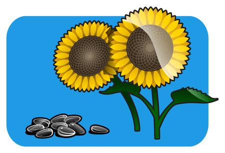 fruitage: sunflower