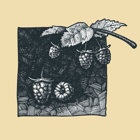 market gardening: Vector  illustration of a raspberry stylized as engraving