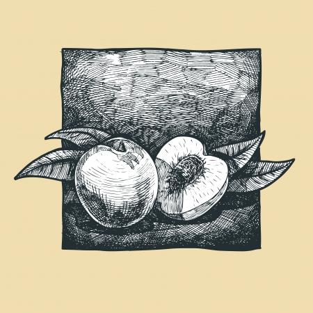 gravure: Vector  illustration of a peach stylized as engraving