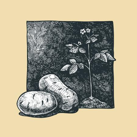 gravure: illustration of a potato stylized as engraving