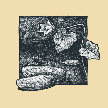garden stuff: illustration of a cucumber stylized as engraving