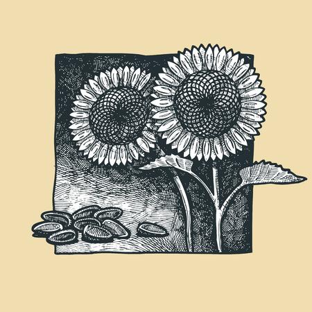gravure: illustration of a sunflower stylized as engraving  Illustration