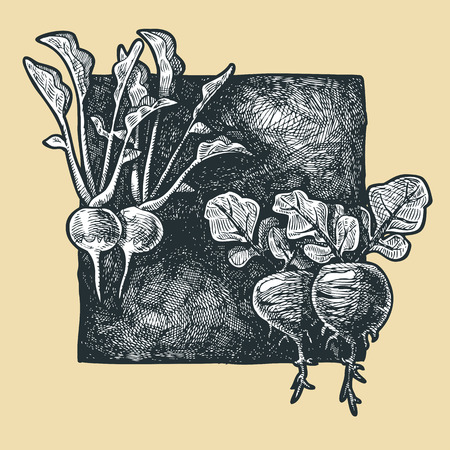 gravure: illustration of a radish stylized as engraving