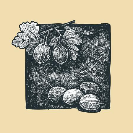 gooseberry bush: illustration of gooseberry bush a stylized as engraving