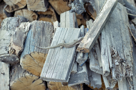 widespread: Photo of a lizard lying on the logs. Reptiles widespread in Eurasia.