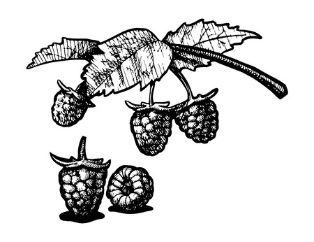 greengrocery: Vector  illustration of a raspberry stylized as engraving