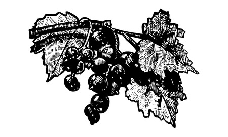 fruitage: Vector  illustration of a blackberry stylized as engraving