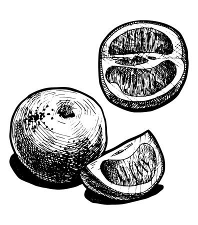 market gardening: illustration of a grapefruit  stylized as engraving.