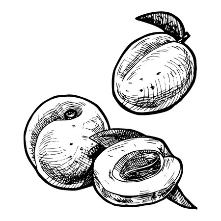 multiple image: illustration of a apricot stylized as engraving.