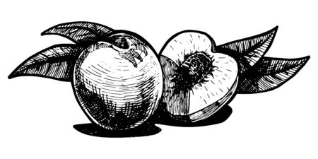 multiple image: illustration of a peach stylized as engraving