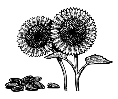 potherb: Vector  illustration of a sunflower stylized as engraving.
