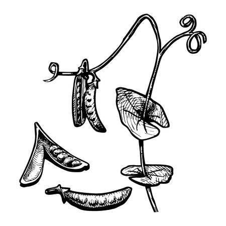 fruitage: Vector  illustration of a pea pod stylized as engraving Illustration