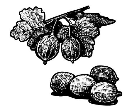 gooseberry bush: Illustrazione vettoriale di una boscaglia di uva spina stilizzata come incisione. Vettoriali
