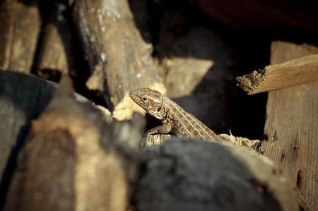 lacertidae: Photo of a lizard lying on the logs.