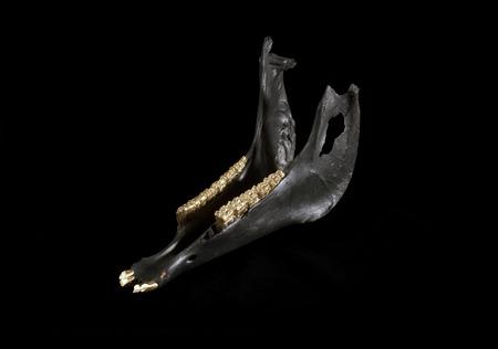 cow teeth: Photo of  bulls jaw with golden teeth Stock Photo