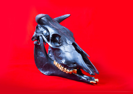 cow teeth: three quarter view photo of cow skull on red background