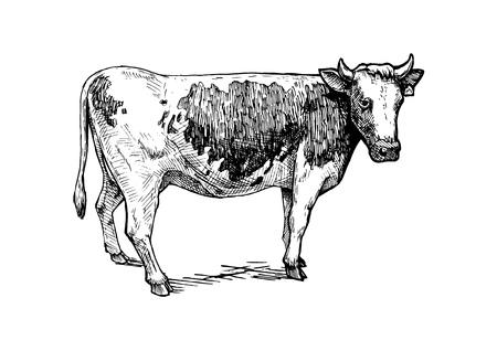 벡터 빈티지 오목 스타일의 가축의 그려진 된 그림을 손으로. 흰색으로 격리.