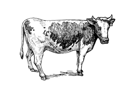 Vector hand drawn illustration of cattle in vintage engraved style. isolated on white.